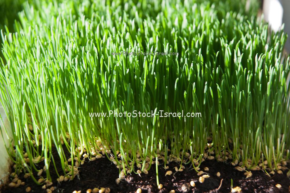 Wheat Germ Sprouting on an organic farm