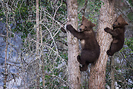 Brown bear cubs are often treed by their mothers when they are fishing with large male bears around. This helps the cubs stay protected while the sow finds food.