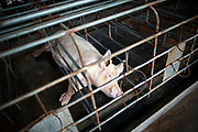 "Pregnant sows seen in the pen at the Grand Canal Pig Farm in Jiaxing, Zhejiang Province, China on 04 August, 2011.  Pork is by far the most popular meat eaten in China, with its value deeply ingrained in the mind of the Chinese people. The importance of pork in the Chinese diet and the role of prices in affecting social stability are demonstrated by the establishment in 2007 by the central government of a ""strategic pork reserve"", the only one of its kind in the world."