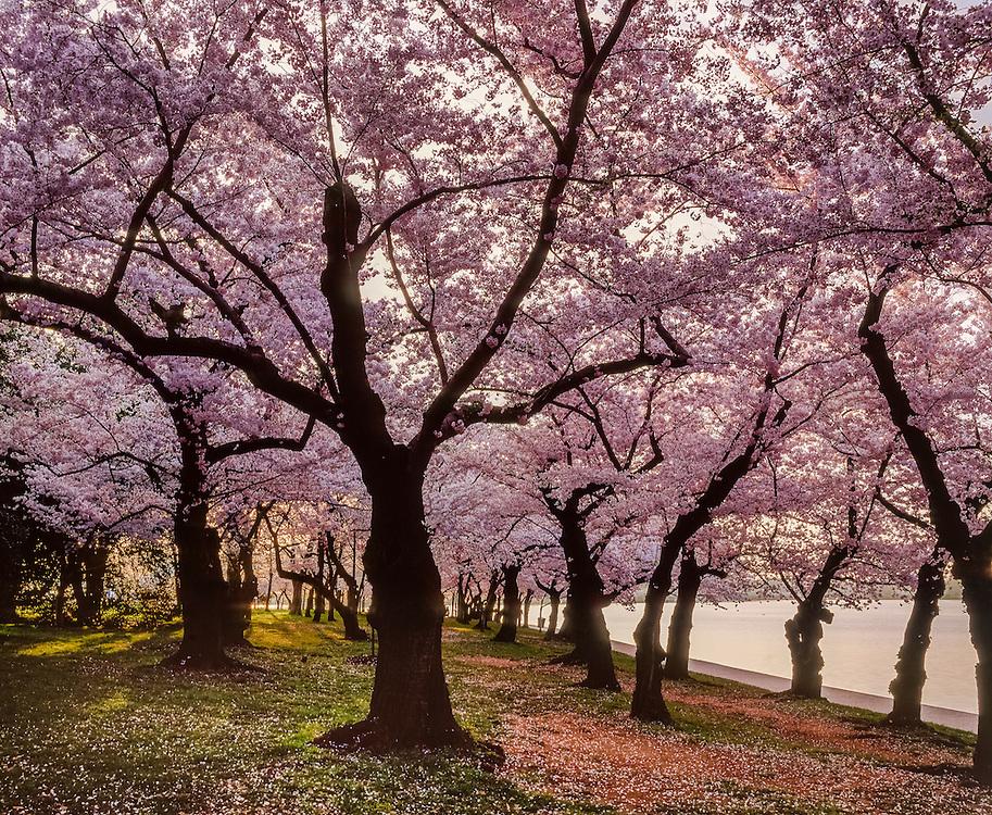 Wall to wall cherry trees in bloom at Tidal Basin, Washington DC