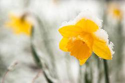 """""""Snowy Daffodil 1"""" - This snow covered Daffodil or Narcissus flower was photographed in Truckee, California in the spring."""