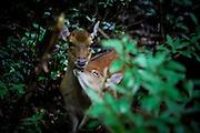 Japan Yakushima Island -  A wild deer in the nature