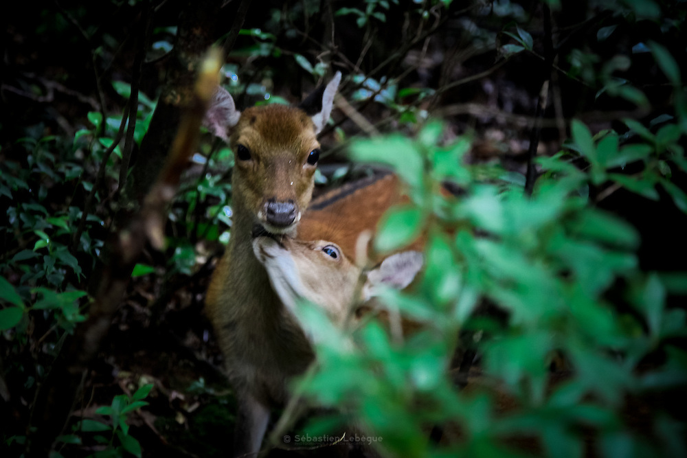 Japan Yakushima Island -  A wild deer in the nature