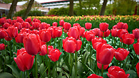 Red tulips. Tulip festival at Keukenhof Gardens in Lisse, Netherlands. Image taken with a Nikon D4 camera and 14-24 mm f/2.8 lens.
