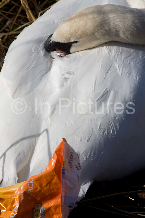 A female mute swan (pen) incubates her eggs on a nest surrounded by plastic bags waste, in an urban water basin. With her beak tucked in warm feathers, she shares the nest with wrappers and bottles, bags and cans tossed from a nearby walkway and perhaps drifted on the water from this urban basin in London's Docklands. The mute swan, which is the white swan most commonly seen in the British Isles, will normally mate at anytime from spring through to summer, with the cygnets being born anytime from May through to July. A swan's nest takes 2-3 weeks and the egg laying process begins with an egg being laid every 12-24 hours. They will all be incubated (ie sat on to start the growth process) at the same time with hatching usually 42 days (6 weeks) later.