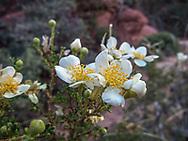 Cliff Rose, wild flower, wildflower, Arizona