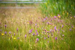 Orchids, Ragged Robin and buttercups. Dactylorhiza fuchsii subsp. fuchsii