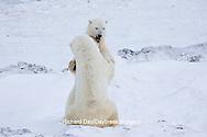 01874-11316 Polar Bears (Ursus maritimus) sparring, Churchill Wildlife Management Area MB