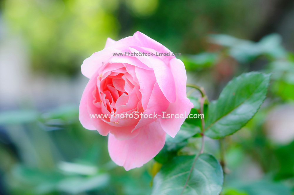 Digitally manipulated pink garden rose