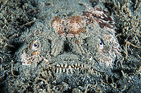 Stargazer buried in the sand awaits unwary prey<br /> <br /> Shot in Indonesia