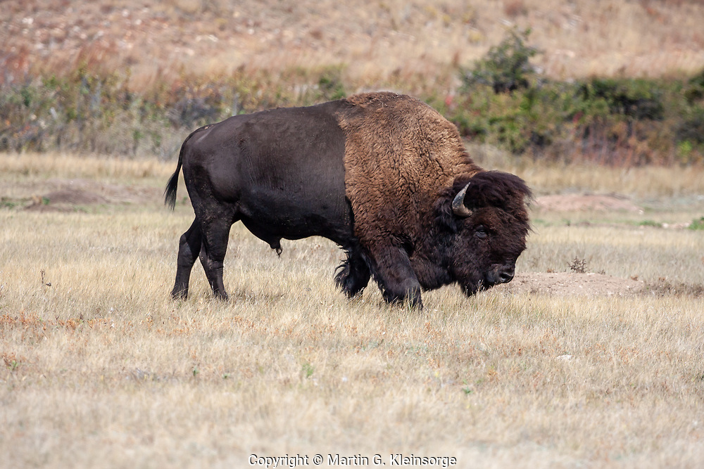 Bull bison roam freely through the rolling hills at Wind Cave National Park. South Dakota, USA.