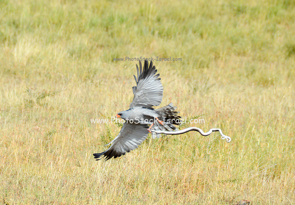 Pale chanting goshawk (Melierax canorus) killing a snake. This carnivorous bird-of-prey inhabits the savannah and bushlands of southern and eastern Africa. It hunts by day, watching from a perch and swooping to seize small animals such as lizards, birds, snakes and mammals. These birds also feed on termites when these insects are in abundance. Adults live in territorial pairs. Pale chanting goshawks roost in trees at night. Photographed in Tanzania