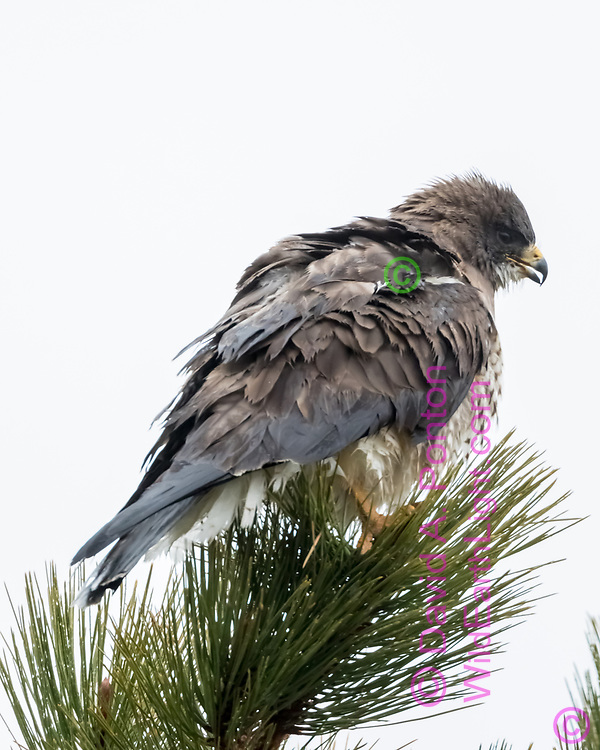 Swainsons's hawk settles feathers, perched on the top of a ponderosa pine tree, Valles Caldera National Preserve, Jemez Mountains, NM, © David A. Ponton