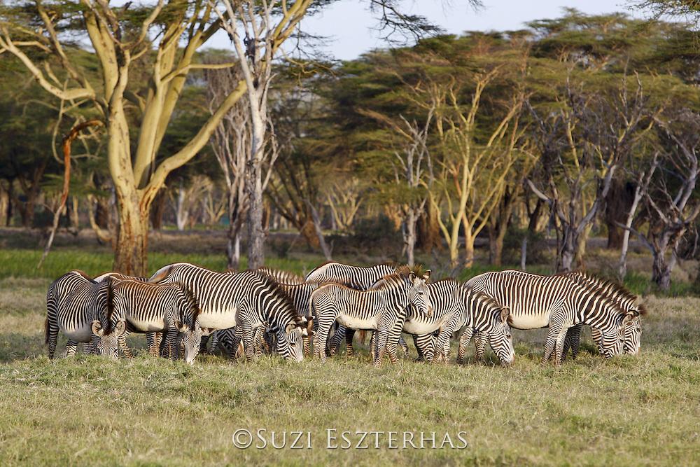 Grevy's Zebra<br /> Equus grevyi<br /> Grazing on green grass at perennial swamp<br /> Lewa Wildlife Conservancy, Northern Kenya