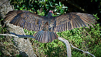 Turkey Vulture Warming in the Sun. Biolab Road, Merritt Island National Wildlife Refuge.. Image taken with a Nikon D4 camera and 500 mm f/4 VR lens (ISO 800, 500 mm, f/6.3, 1/2000 sec).