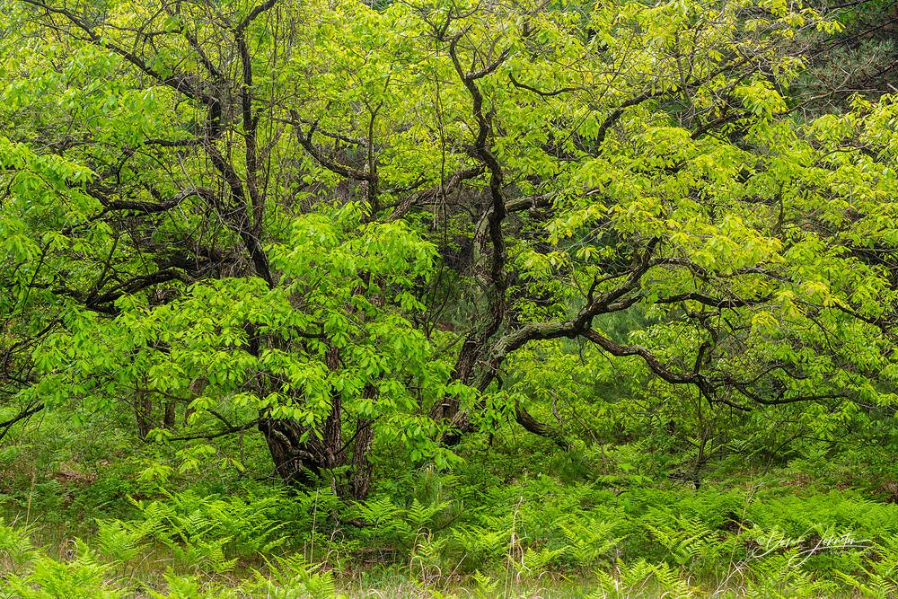 Oak savannah forest, Pinery Provincial Park, Grand Bend,, Ontario, Canada
