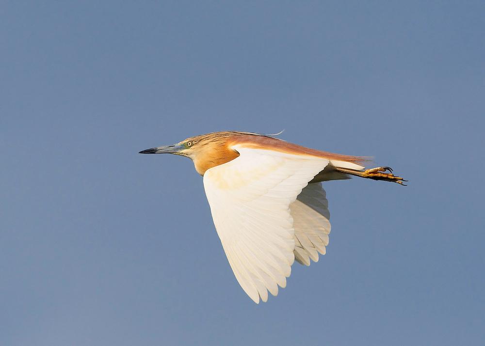Squacco Heron (Ardea ralloides) Pusztaszer Nature Reserve, Hungary