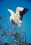 Wood Stork, Mycteria americana, Shark River Slough, Everglades National Park, Florida.