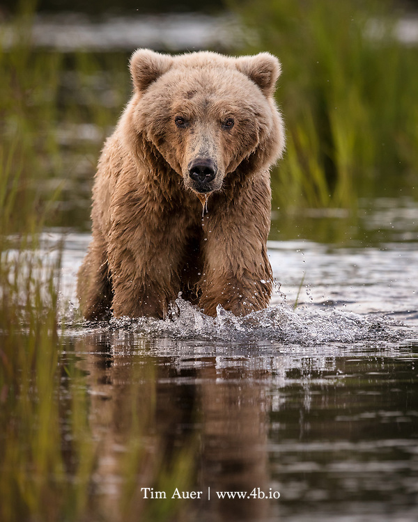 The California Grizzly was a strong swimmer. In fact, in 1827 a boat near Angel Island in San Francisco Bay came upon one swimming that attempted to board the boat.