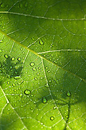 Sunlight after a storm shines through a leaf and water droplets