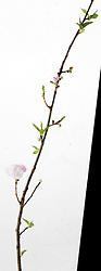 cherry blossom twig
