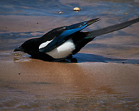 Black-billed Magpie (Pica hudsonia). Great Sand Dunes National Park. Image taken with a Nikon D300  camera and 80-400 mm VR lens