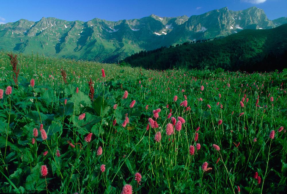 Alpine wildflower meadow, Caucasus Mountains, Svaneti Region, The Country of Georgia