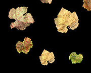 Aging leaves on black