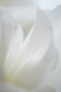 Abstract and macro details of peony flower petals