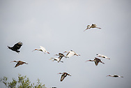A flock of ibis take to the sky in the Florida Everglades