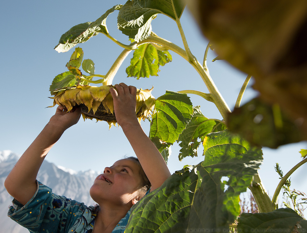 Kids picking sunflowers. In Roshorv village.