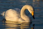 Whooper swan, Cygnus cygnus, swimming, floating on water, lake Kussharo-ko, Hokkaido Island, Japan, japanese, Asian, wilderness, wild, untamed, ornithology, snow, graceful, majestic, aquatic
