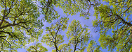 Looking up through Oak trees panorama, Briones Regional Park, Contra Costa County, California