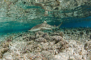 A Black tip Reef Shark, Carcharhinus melanopterus, swims in the shallows of Tetamanu Pass, Fakarava Atoll, French Polynesia