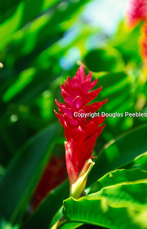 Red Ginger,Hawaii<br />