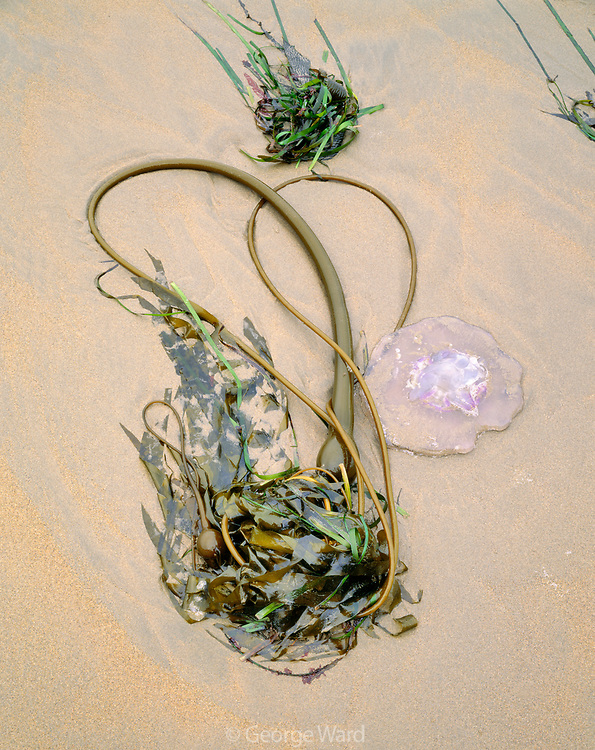 Kelp and Jellyfish,Phillip Burton Wilderness, Point Reyes National Seashore, California
