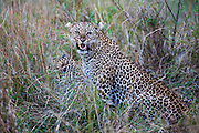A female leopard (Panthera pardus) on a kill with her cubs, snarls as a warning, Masai Mara, Kenya