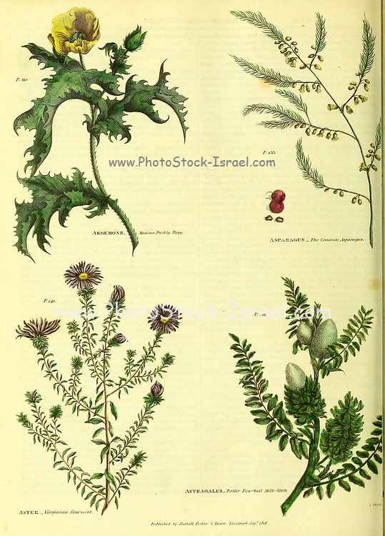 Argemone [Mexican Prickly Poppy], Asparagus, Aster [Virginian Starwort], Astragalus [Taller Fox-tail milk-vetch] from Vol 1 of the book The universal herbal : or botanical, medical and agricultural dictionary : containing an account of all known plants in the world, arranged according to the Linnean system. Specifying the uses to which they are or may be applied By Thomas Green,  Published in 1816 by Nuttall, Fisher & Co. in Liverpool and Printed at the Caxton Press by H. Fisher