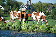 Koeien in de wei bij Hazerswoude-Dorp, Zuid-Holland - Cows in the meadow, Nehterlands