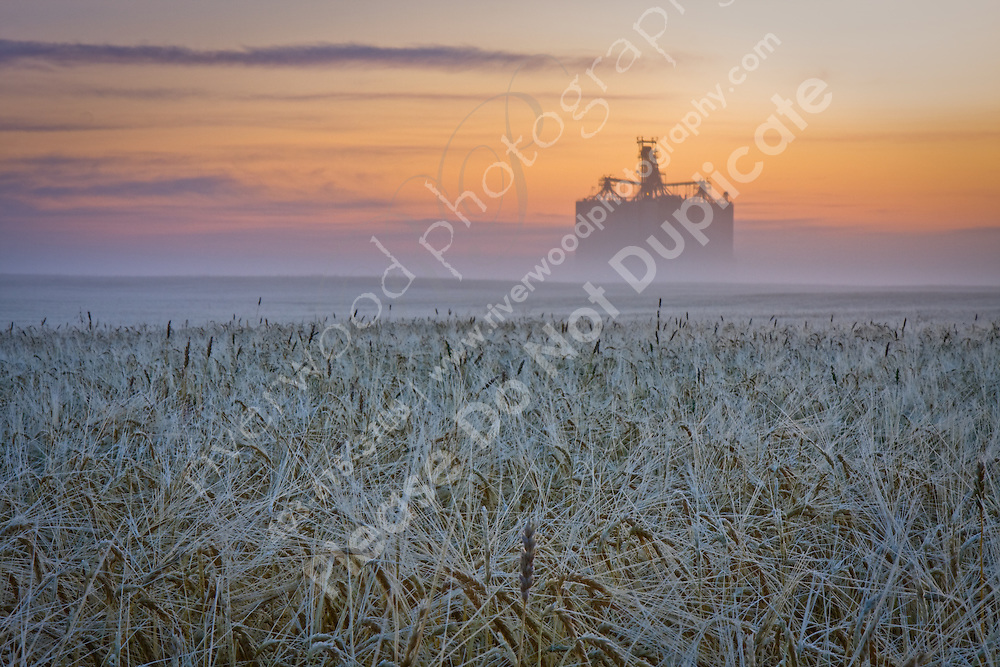 Sunrise over a field of wheat.  East of Calgary near Indus, AB.