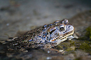 A Western Toad (Bufo boreas) lies partially submerged along the bank of Big Creek in the Frank Church - River of No Return Wilderness, Idaho.