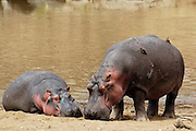 Sleeping hippos on shoreline with red billed oxpecker birds.