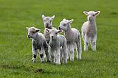 New Zealand Sheep and Lambs