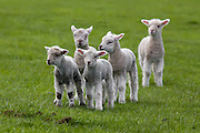 New Zealand lambs playing out in the paddock in Southland.