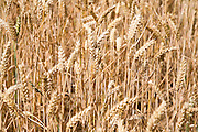 Wheat stalks and heads close up