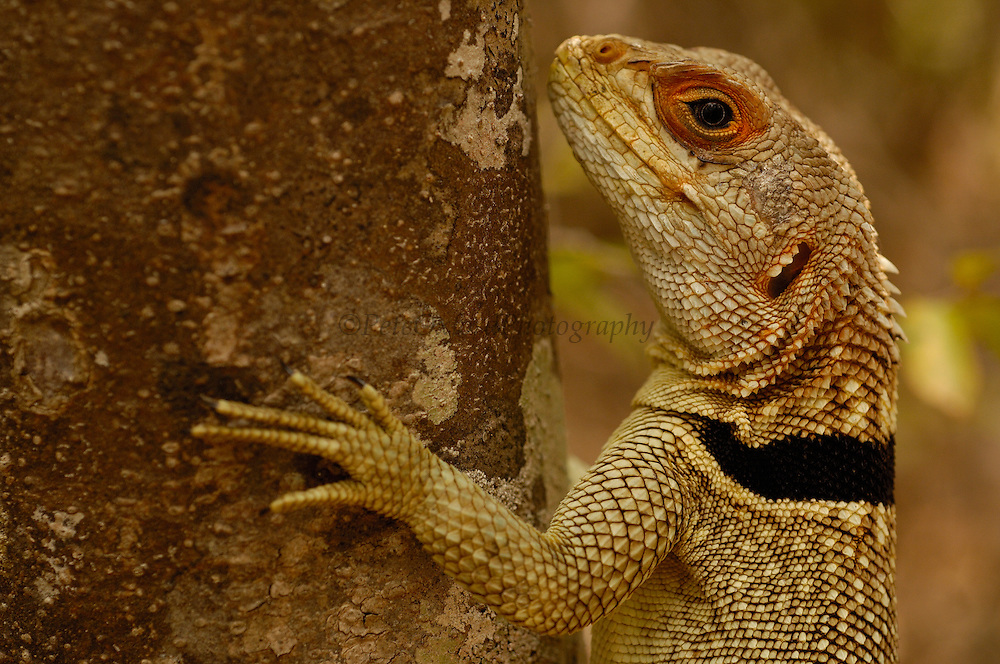 Madagascar spiny tailed lizard (Oplurus cuvieri)<br /> Ankarafantsika Strict Nature Reserve, Western dry-deciduous forest. MADAGASCAR, endemic.