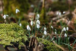 Gewoon sneeuwklokje, Galanthus nivalis Texel, De Dennen, Westermient, Noord Holland, Netherlands, Staatsbosbeheer