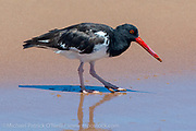 An American Oyster Catcher, Haematopus palliatus, feeds along the shore in the Galapagos Islands, Ecuador.