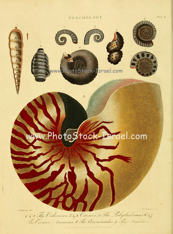 Nautilus Shell Conchology The collection and study of mollusc shells hand coloured Copperplate engraving From the Encyclopaedia Londinensis or, Universal dictionary of arts, sciences, and literature; Volume V;  Edited by Wilkes, John. Published in London in 1810