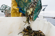 Local fisherman Neil Cameron uses creels to catch Velvet and Green Crab between Fionnphort and Iona, Isle of Mull, Scotland.  Iona, Isle of Mull, Scotland. The contents of 500 creels is taken every week by truck and sold to Spain. On each line are 25 creels that are spaced out in different areas of the nearby bays. The main fishing on the Ross of Mull, Ulva Ferry and Tobermory is now is commercial shell fishing with baited traps(creels) for lobsters (homarus gamarus), edible brown crabs( cancer pagurus), Prawn (Norwegian Lobster) and velvet swimming crab (necora puber). Scallop dredgers and Prawn trawlers also operate from both ends of the island, dragging the seabed for their catch. Before the late 1960s shell fishing with creels was generally carried out on a seasonal or part time basis allied to crofting, farming or another shore based job. Small boats today still operate this way.